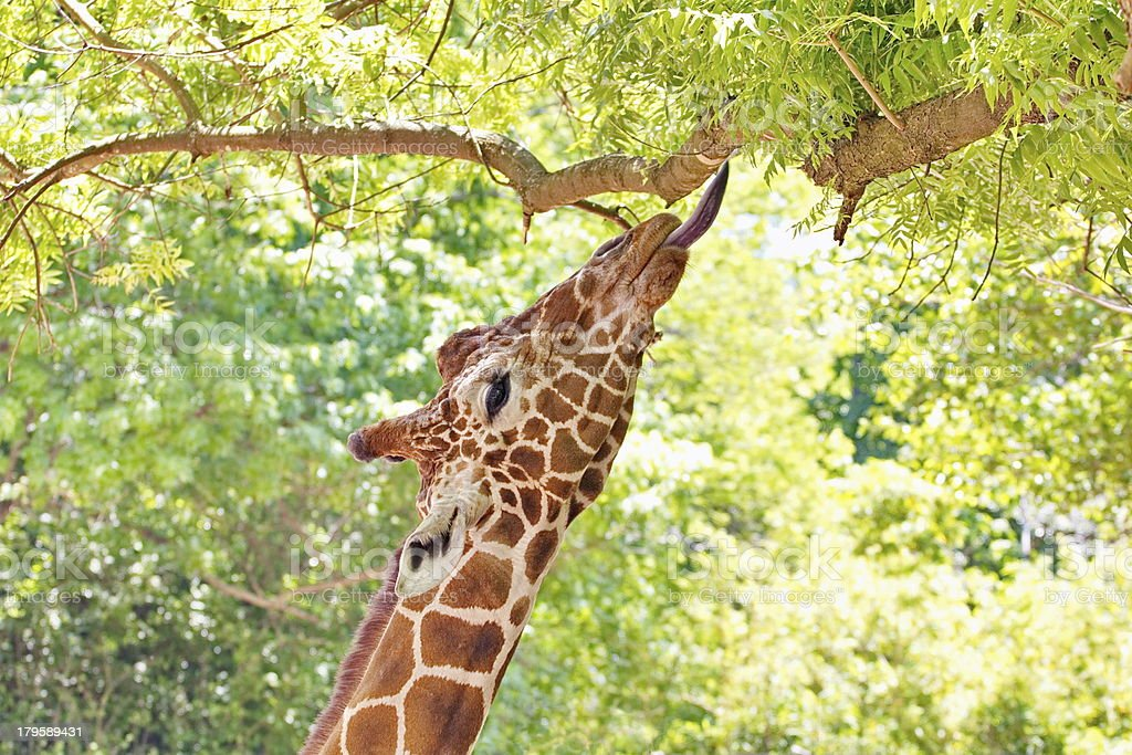 Giraffe Portrait Eating Leaves royalty-free stock photo