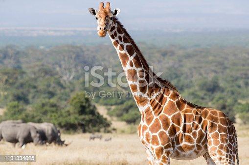 Portrait of a Giraffe. Taken in Kenya