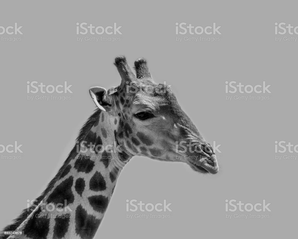 Giraffe Portrait stock photo