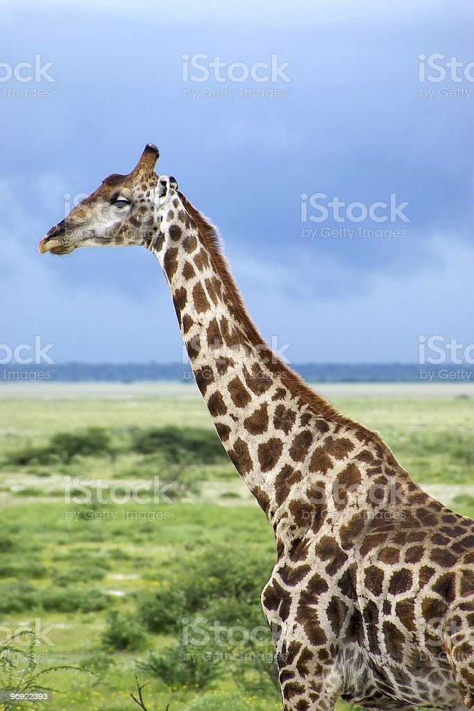 giraffe portrait royalty-free stock photo