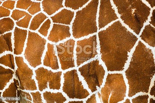 Close-up of giraffe body.
