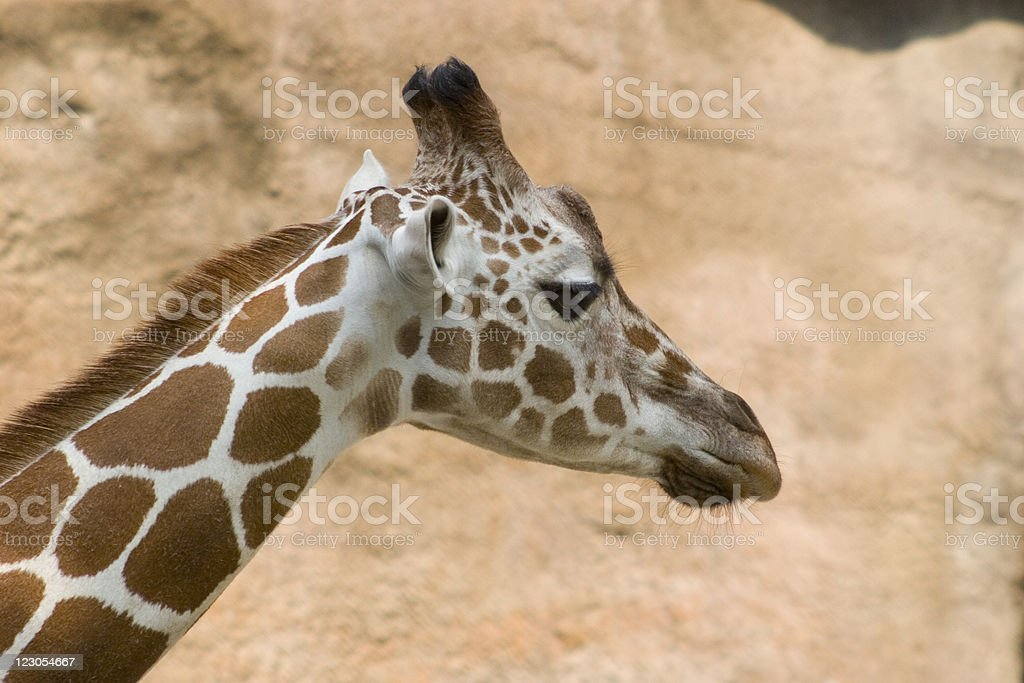 Giraffe Profile - Royalty-free Africa Stock Photo