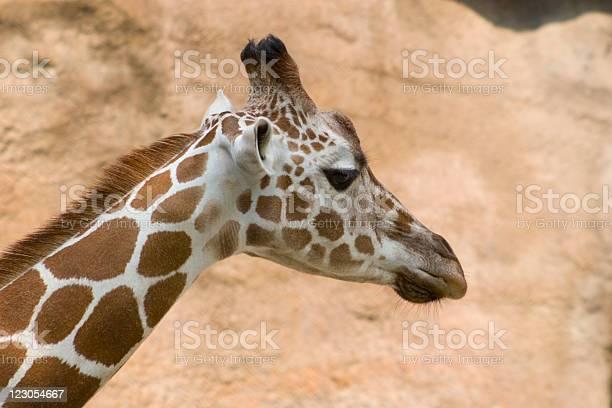 Giraffe Profile Stock Photo - Download Image Now
