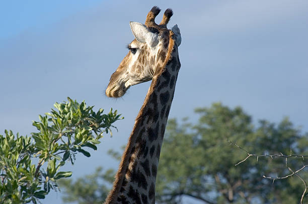Giraffe Profile A giraffe in the South African sun. aegis stock pictures, royalty-free photos & images