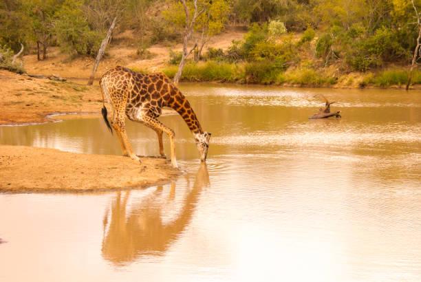 Giraffe seinen Durst – Foto