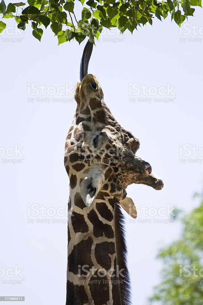 Giraffe Reaching For Leaves royalty-free stock photo
