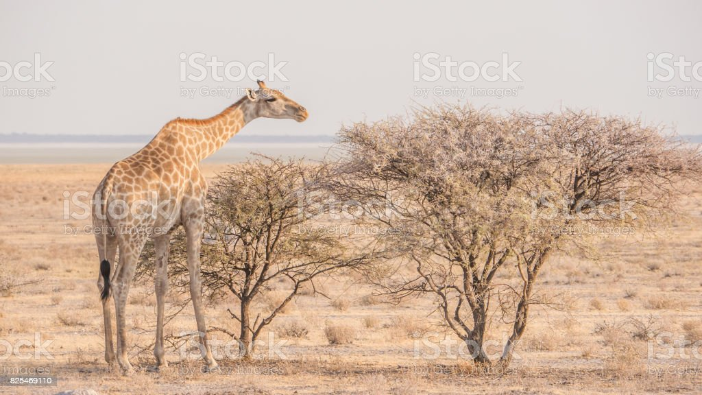 Giraffe reaching his neck out to eat from thorn trees in barren desert landscape, Etosha National Park, Namibia. stock photo
