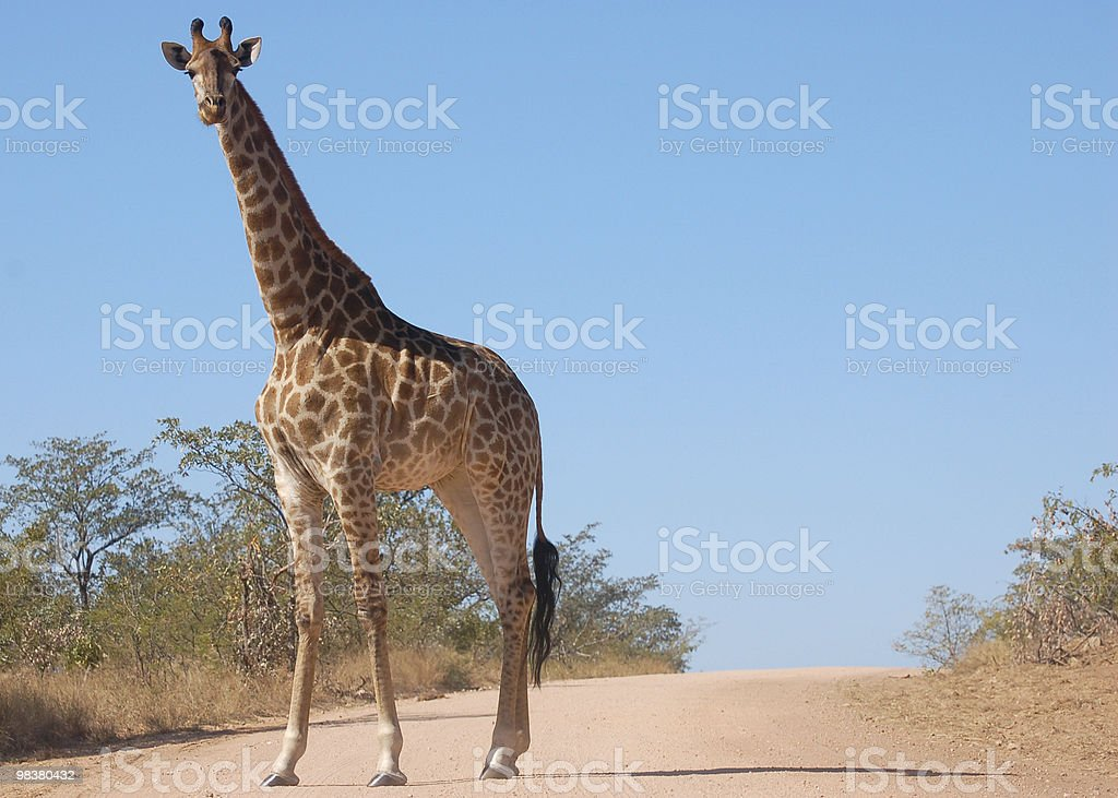 Giraffe Road Block royalty-free stock photo