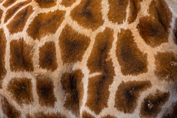 giraffe skin, close up - animal markings stock pictures, royalty-free photos & images