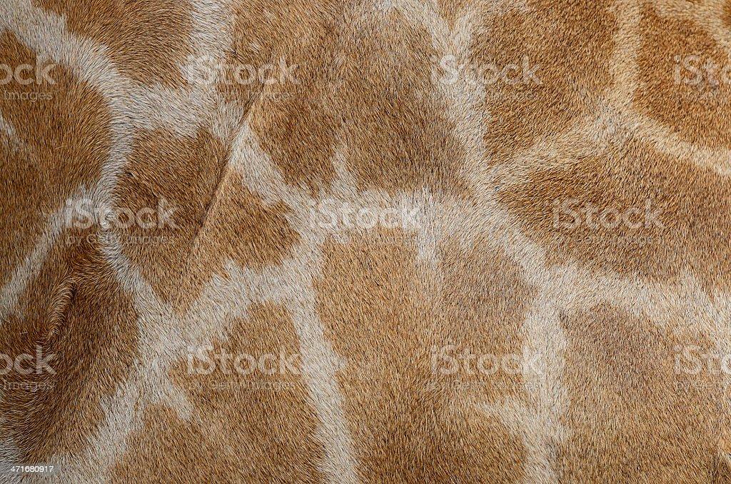 Giraffe skin royalty-free stock photo