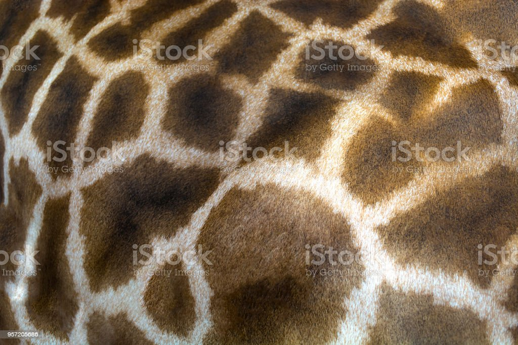 Giraffe skin texture consisting of brown spots stock photo