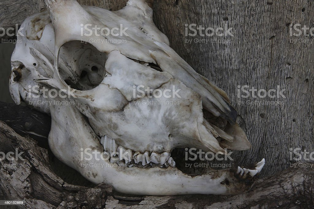Giraffe Skull stock photo