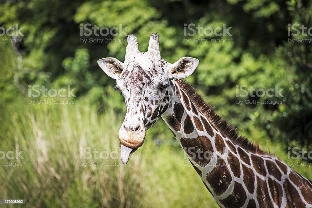 Giraffe Sticking out His Tongue royalty-free stock photo