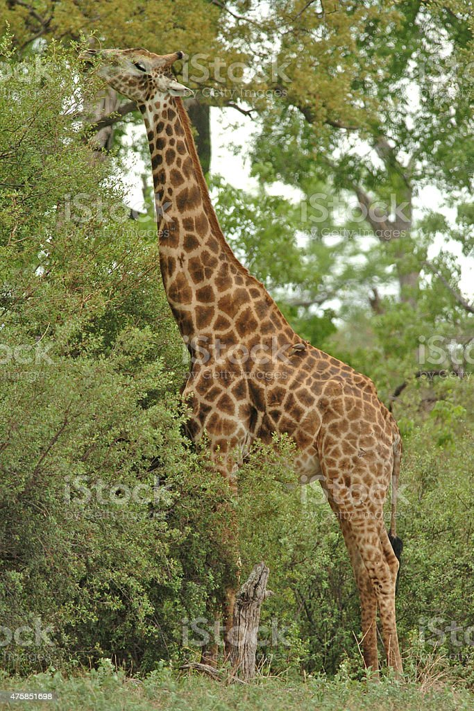 Giraffe stretching neck to feed stock photo