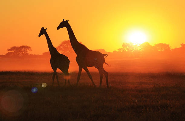giraffe sunset - african wildlife and freedom - safari animals stock photos and pictures