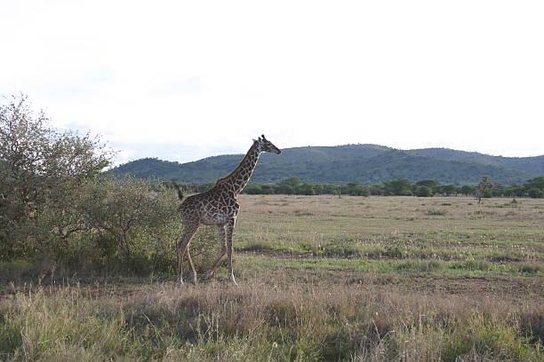 Giraffe twilight african savannah serengeti tanzania africa picture id467754767?b=1&k=6&m=467754767&s=612x612&w=0&h=42tbpac knrgoshvhsdb7crtcvsjbbtnwi5op45uj2u=