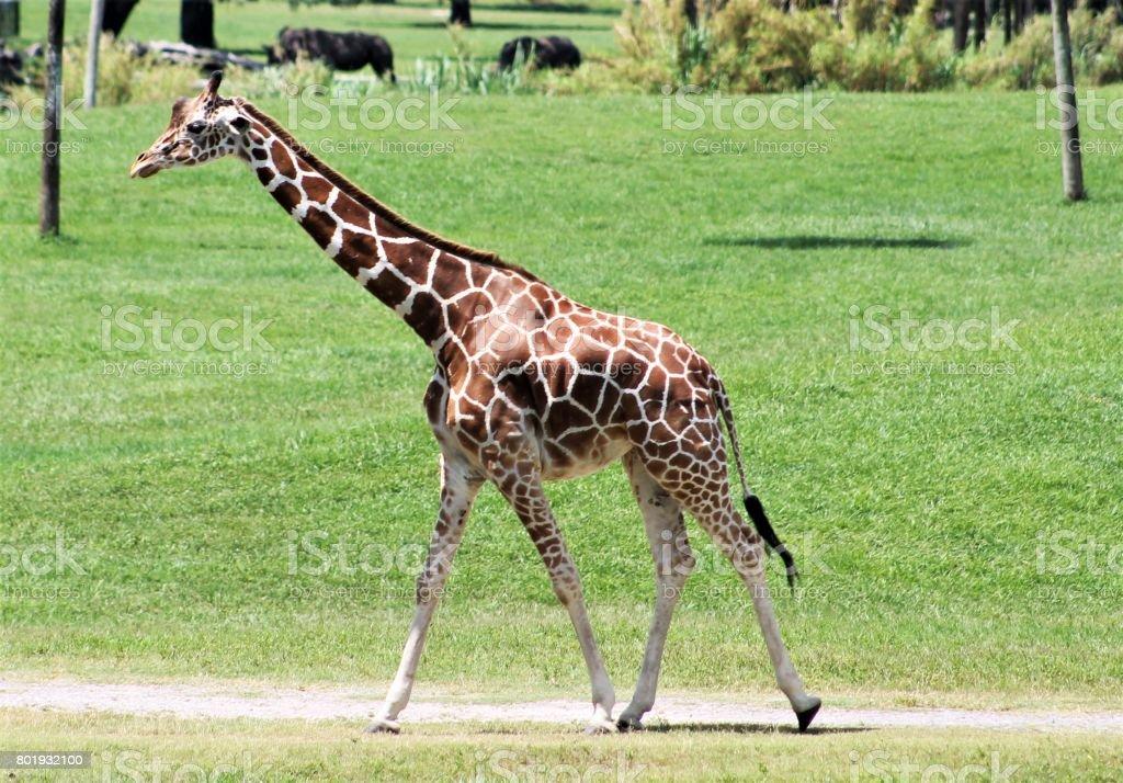 Giraffe walking across a field stock photo