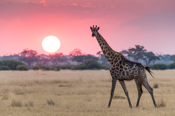 giraffe walking and looking at the camera at sunset in savuti, botswana - giraffe stock photos and pictures