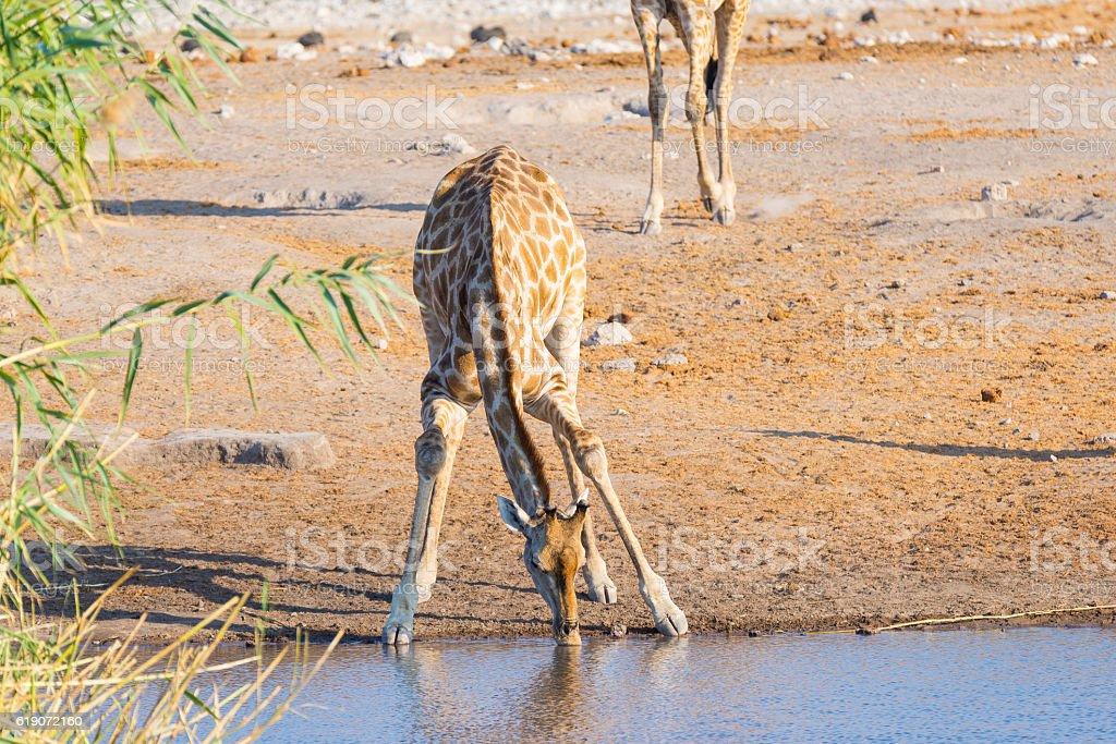 Giraffe walking in Etosha National Park, Namibia, Africa stock photo