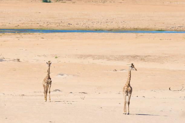 giraffe walking in etosha national park, namibia, africa - ein topf wunder stock-fotos und bilder