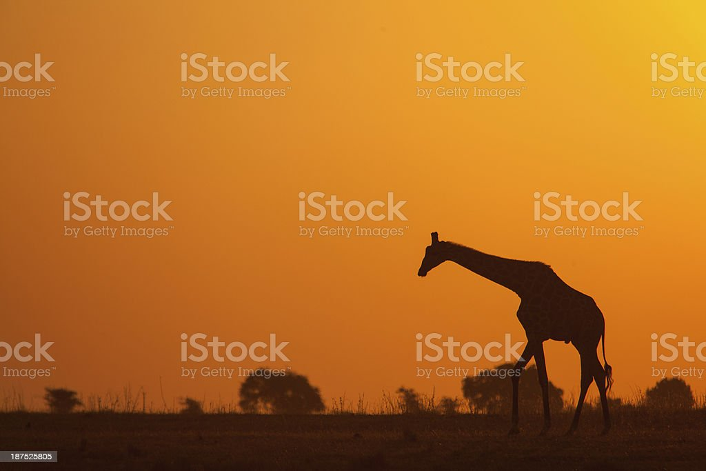 Giraffe walking into the sunset stock photo