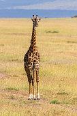 Giraffe walking on savannah in Masai Mara