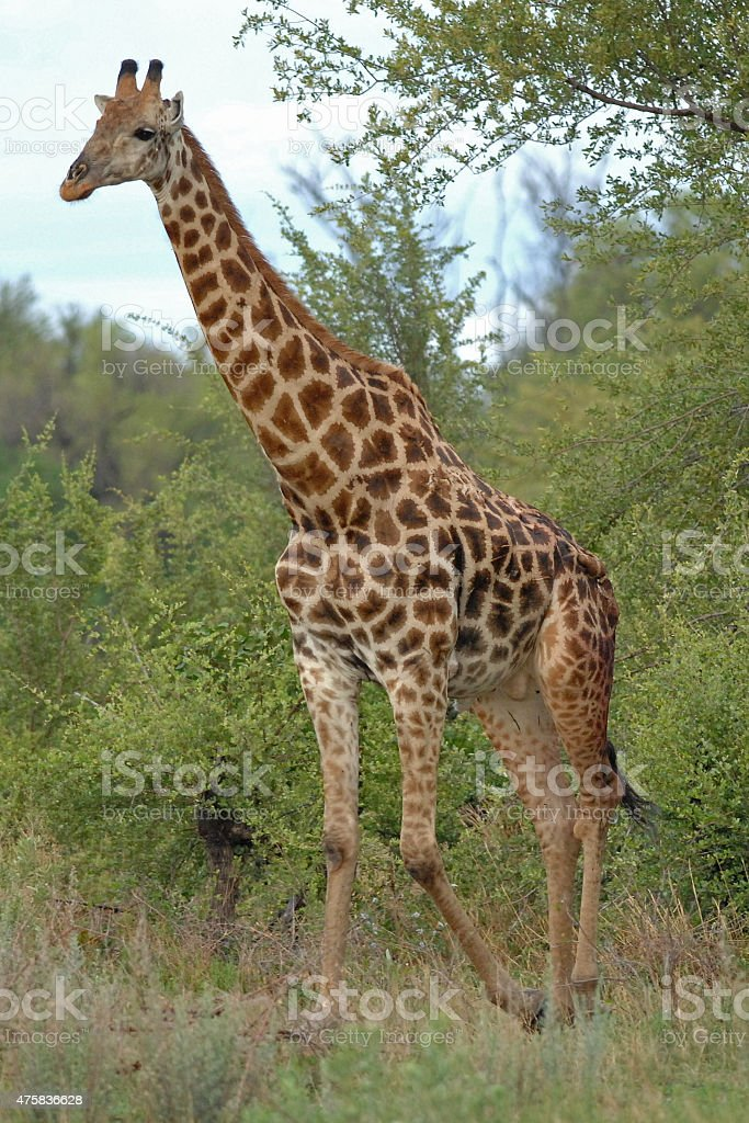 Giraffe walking stock photo