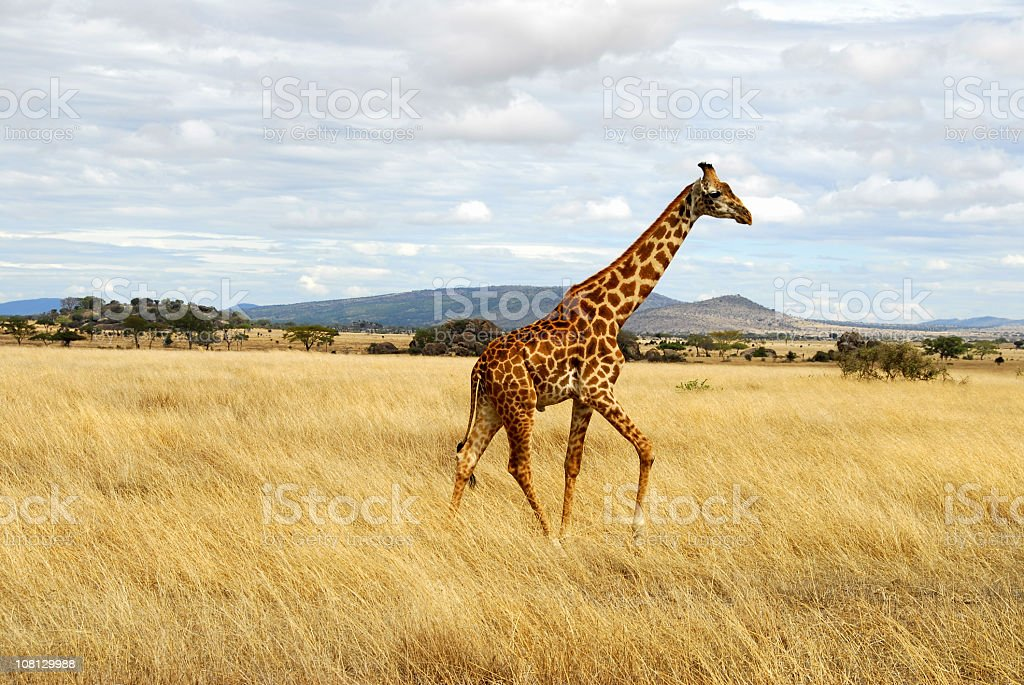 Giraffe Walking Through African Serengeti, Tanzania royalty-free stock photo