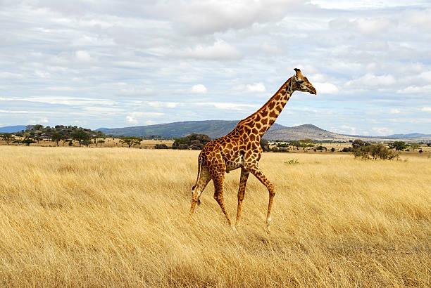 Giraffe Walking Through African Serengeti, Tanzania stock photo