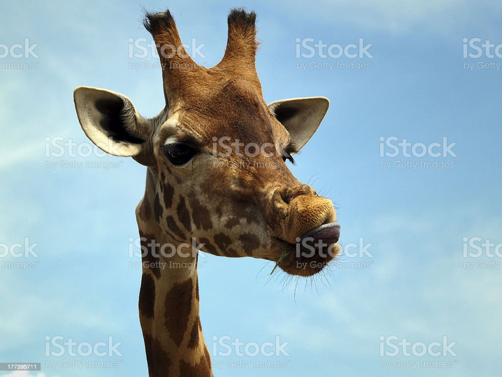 Giraffe with a funny expression royalty-free stock photo
