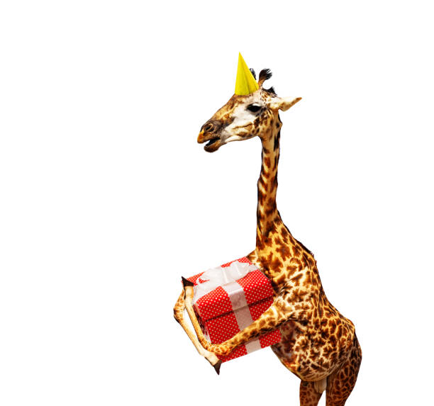 Giraffe with birthday present and cap on white stock photo