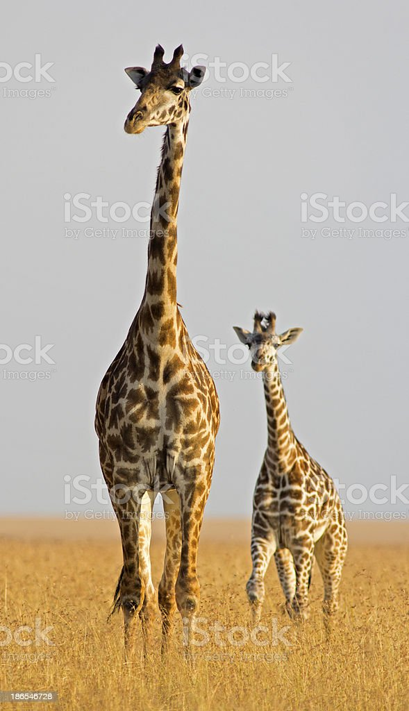 Giraffe with calf royalty-free stock photo