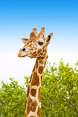 giraffe with green trees and blue sky