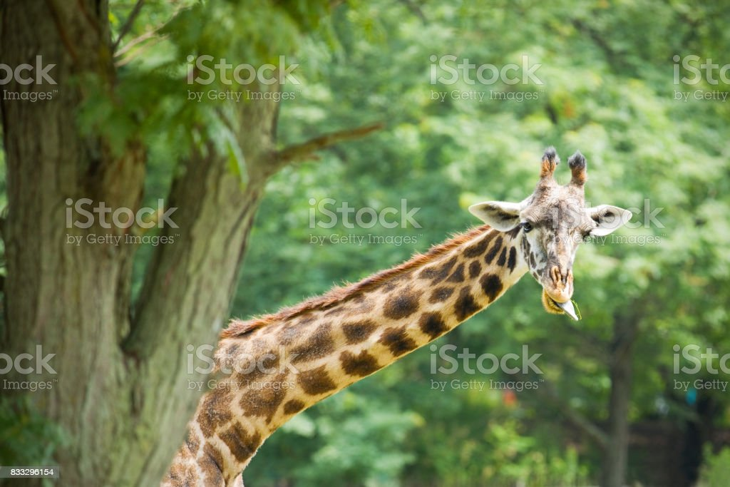 Giraffe With His Tongue Out Eating stock photo