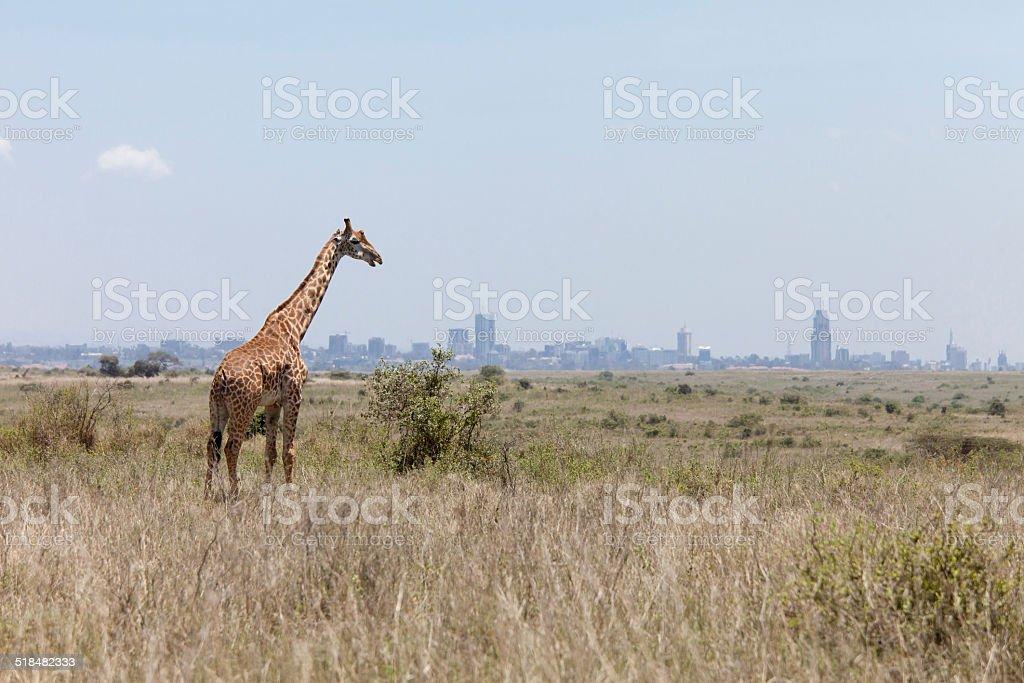 giraffe with Nairobi in background stock photo