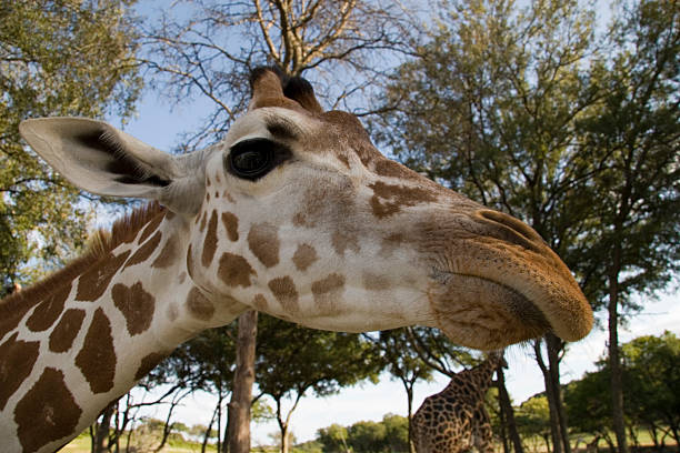 Giraffe with pouty Angelina Jolie lips