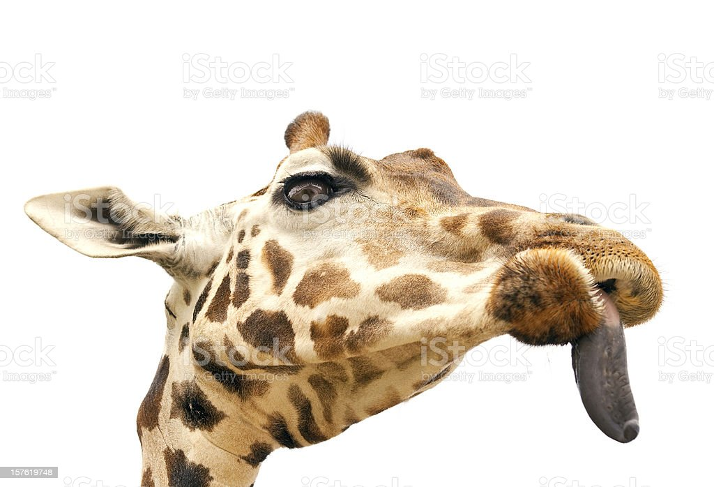 Giraffe with put out tongue royalty-free stock photo