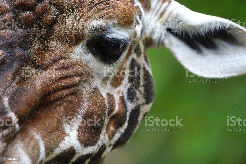 Giraffenkopf in Nahaufnahme stock photo