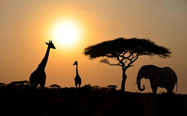 giraffen und elefant mit akazie baum mit sonnenuntergang - elefanten umriss stock-fotos und bilder