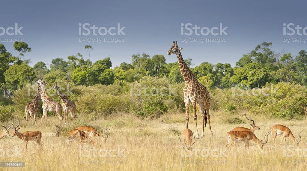 giraffes and impalas grazing in the savannah stock photo