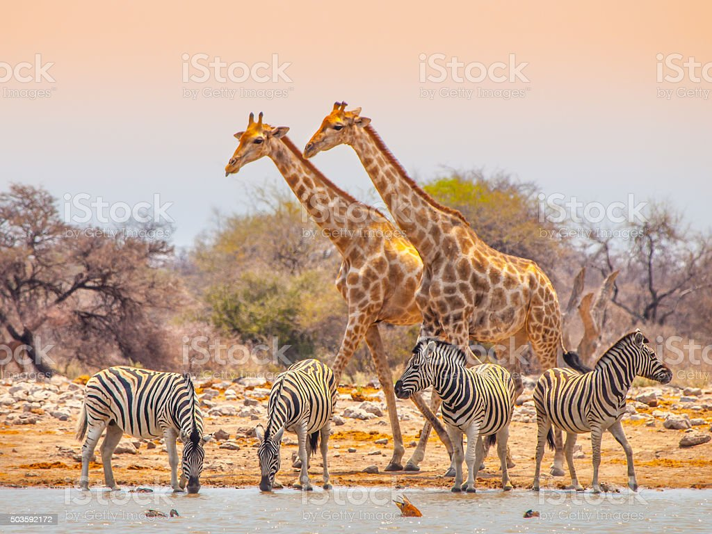 Giraffes and zebras at waterhole stock photo