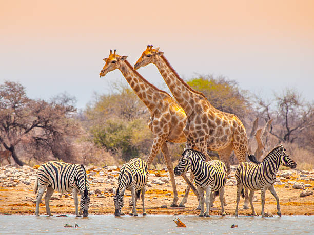 Giraffes and zebras at waterhole Two giraffes and four zebras at waterhole in Etosha National Park, Namibia namibia stock pictures, royalty-free photos & images