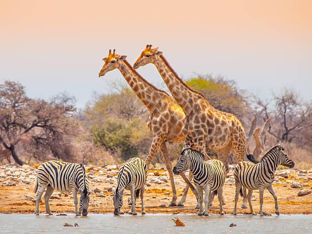 giraffen, zebras im wasserloch - safari tiere stock-fotos und bilder