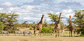 istock Giraffes and zebras on the savanna in OlareMotorogi Conservancy, Masai Mara, Kenya, Africa 1208300058