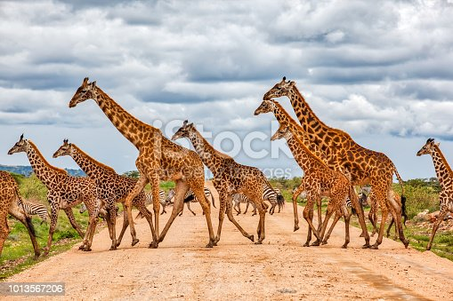 Giraffes Army Running at wild with Zebras under the clouds