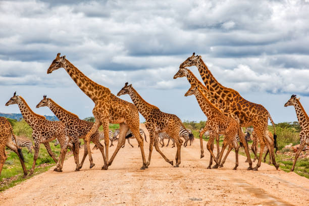 Giraffes Army Running at wild with Zebras under the clouds Giraffes Army Running at wild with Zebras under the clouds masai mara national reserve stock pictures, royalty-free photos & images