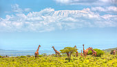 Giraffes at Amboseli with Kilimanjaro and Acacia Trees