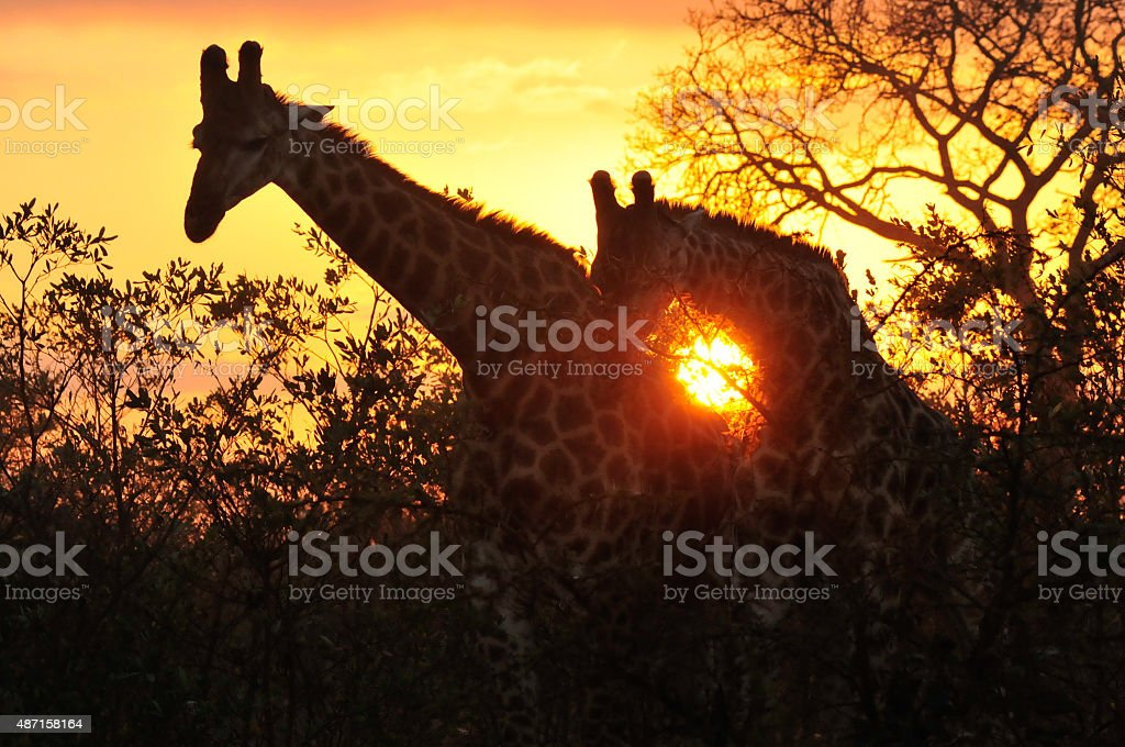 Giraffes at sun rise stock photo