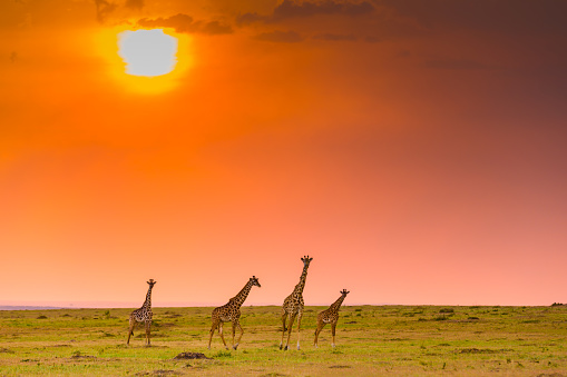 Tower of three giraffe walking towards camera in Masai Mara Kenya
