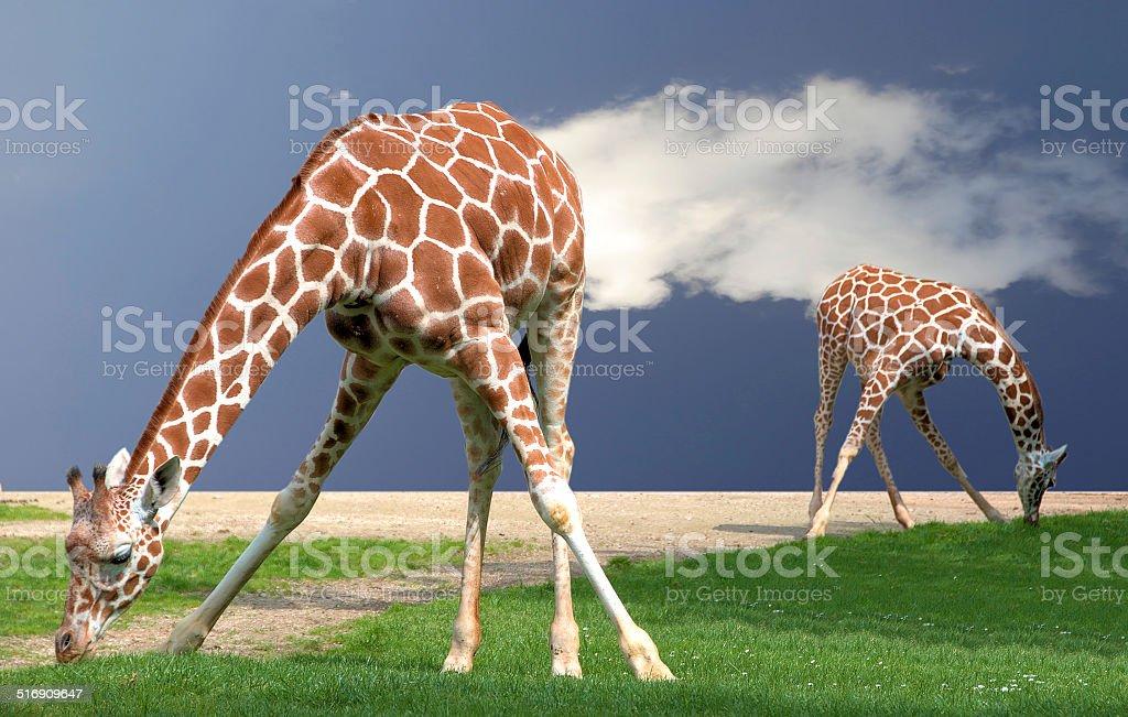 Giraffes bending stock photo